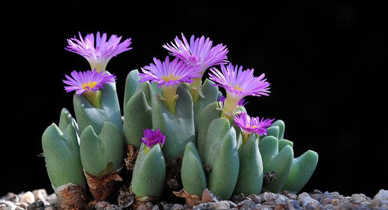Литопсы - удивительные растения похожие на камни
