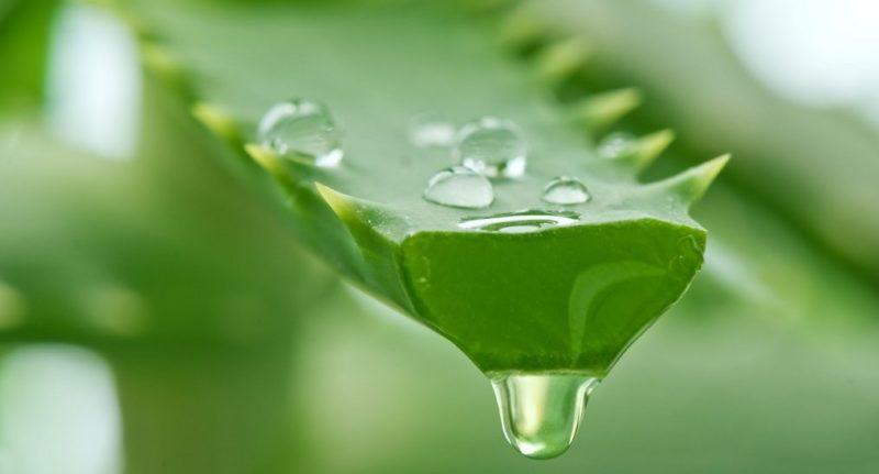 Полезное растение - Алоэ вера: правильный уход и народные рецепты
