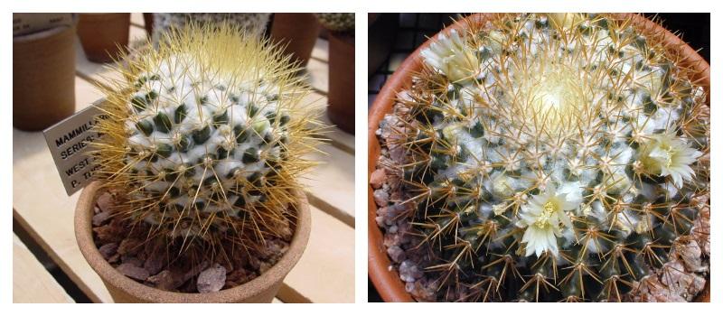 Маммиллярия - любимец среди кактусов!