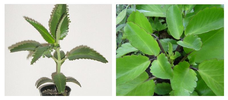 Каланхоэ - лечебные свойства, применение в народной медицине, полезные рецепты