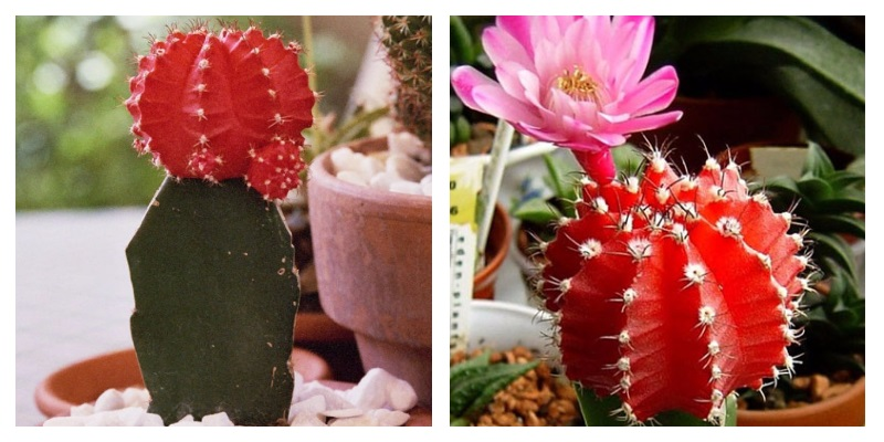 Сколько цветет кактус в домашних условиях 573