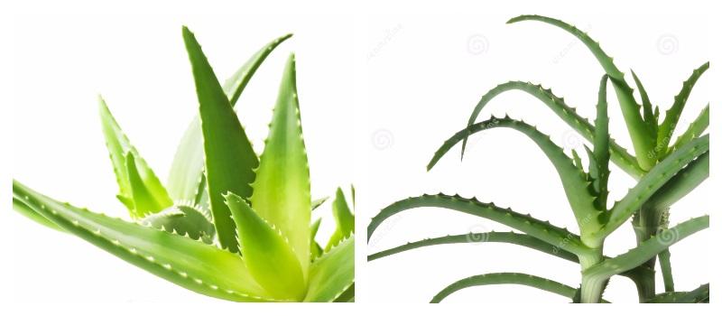 Алоэ древовидное (Столетник) - лечебные свойства, применение, фото