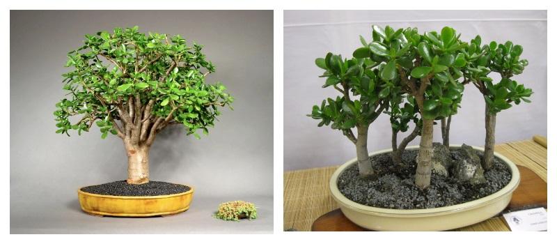 Денежное дерево - толстянка или крассула. Уход в домашних условиях