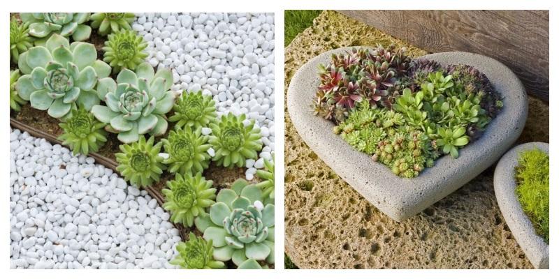 Каменная роза - Молодило. Выращиваем в доме и саду