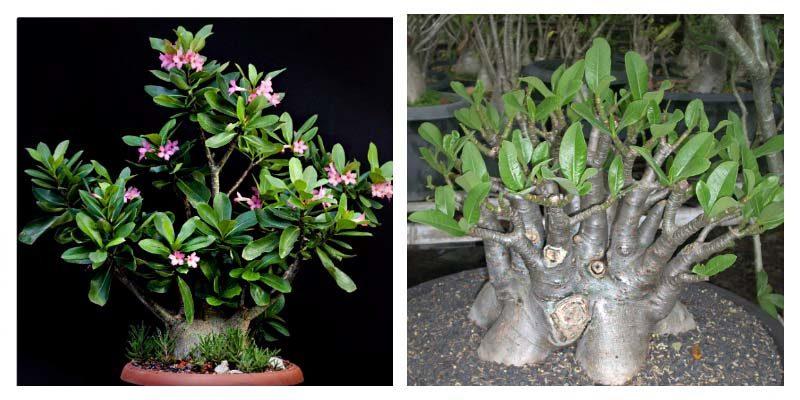 Удивительное африканское мини-дерево - Адениум