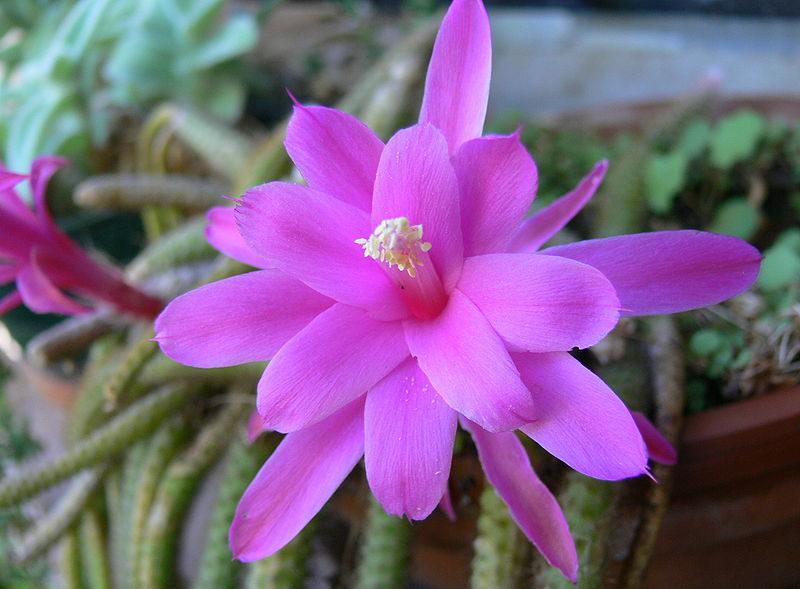 цветок апорокактуса