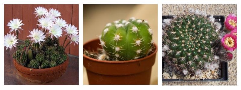 Эхинопсис - кактус похожий на ёжика. Популярные виды и уход