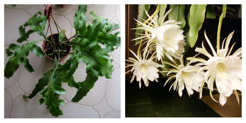 Эпифиллум - лесной кактус с красивыми цветками