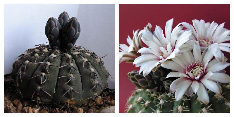 Шарообразный кактус - Гимнокалициум