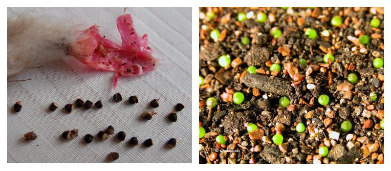 Семена кактуса, пророщенные семена