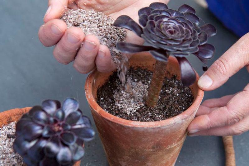 Прекрасный Эониум - многообразие форм и цветов. Ухаживаем правильно