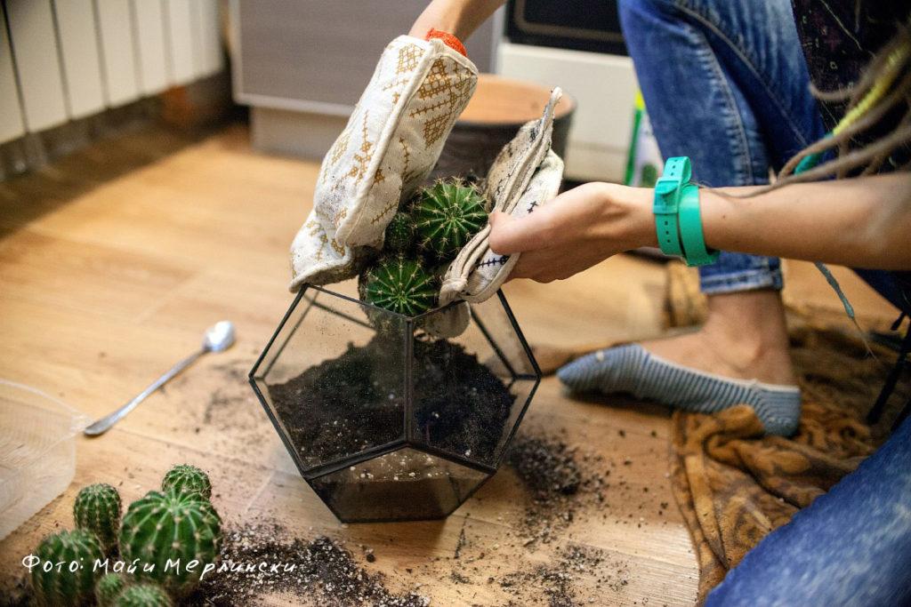 Кактусы уход и выращивание в домашних условиях 5
