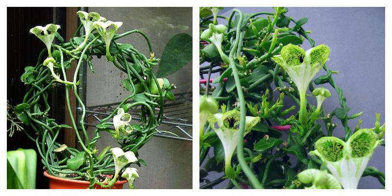 Церопегия - плетущееся ампельное растение