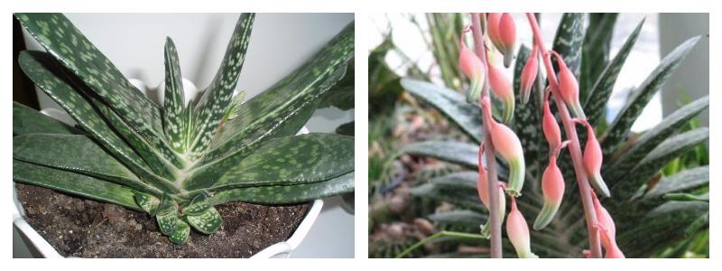 Цветок Гастерия- уход в домашних условиях, виды и фото гастерии