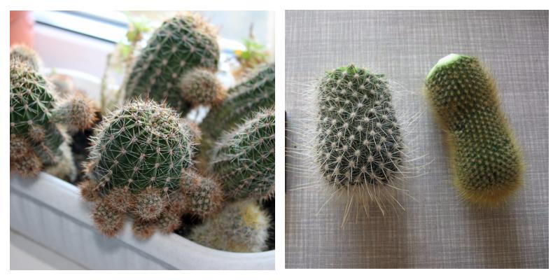 Размножение кактуса черенками