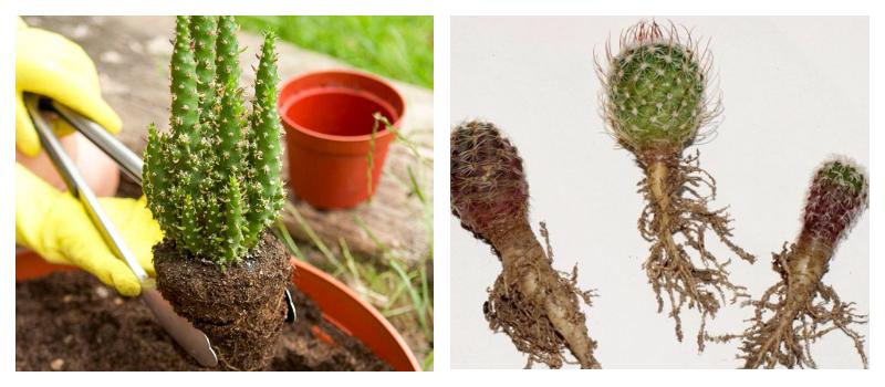 Как пересаживать кактусы в домашних условиях чтобы не 10