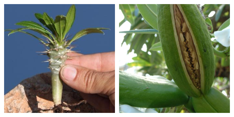 Пахиподиум или Мадагаскарская пальма уход и популярные виды