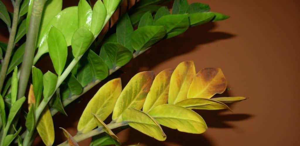 Старые желтеющие листья