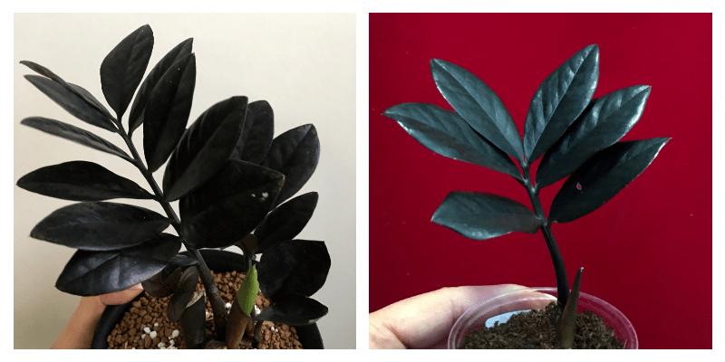 Комнатное растение Замиокулькас – Долларовое дерево