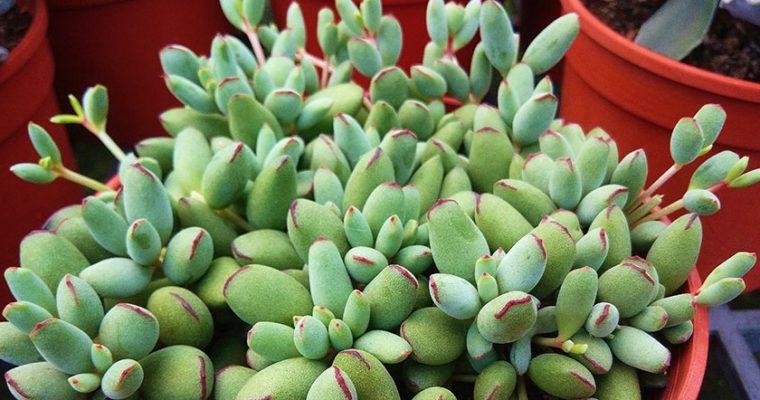 Котиледон — ознакомление с видами и уходом за растением