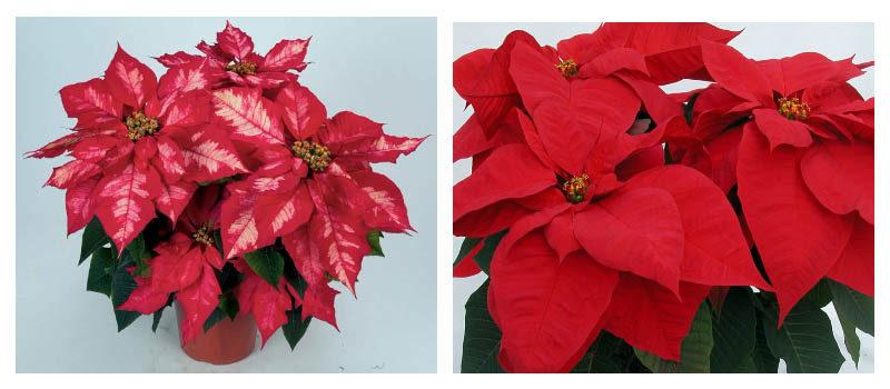 Рождественская красавица - Пуансеттия