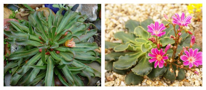 Котиледон - ознакомление с видами и уходом за растением