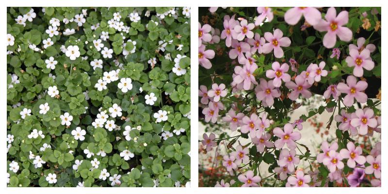 Бакопа - цветущее растение для дома и сада