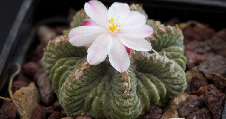 Топ 15 редких кактусов. Необычные растения для дома!