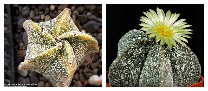 Астрофитум - мексиканский красавец: популярные виды кактуса