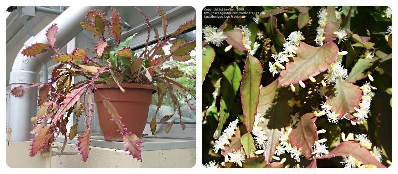 Ампельный кактус - Рипсалис