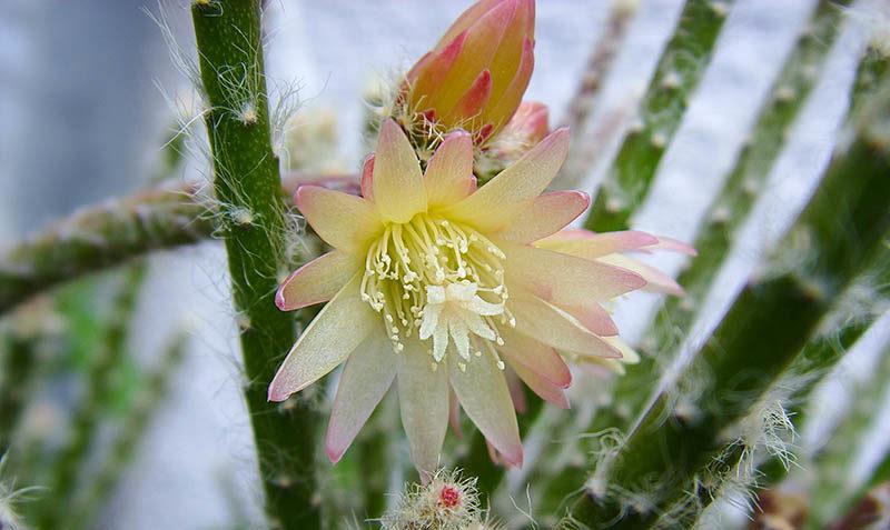цветок рипсалиса