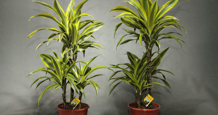 Драцена — домашняя пальма, популярные виды и уход