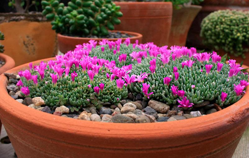 Делосперма — цветочный ковер в саду! Выращиваем дома и в открытом грунте
