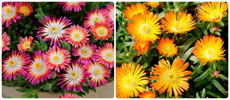Делосперма - цветочный ковер в саду! Выращиваем дома и в открытом грунте
