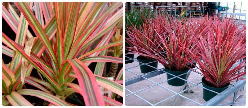 Драцена - домашняя пальма, популярные виды и уход