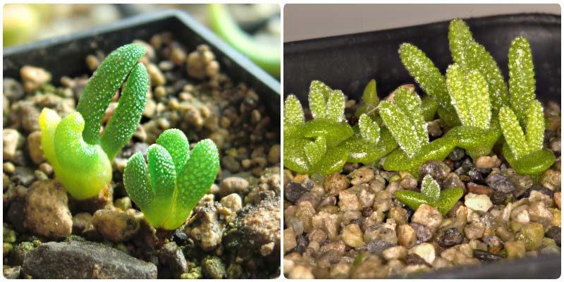 Удивительное растение Монилария – заячьи ушки