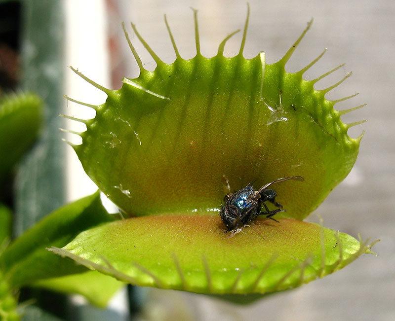 Кормление мухоловки