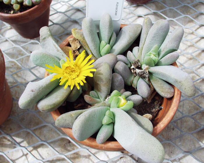 Глоттифиллум фото растения