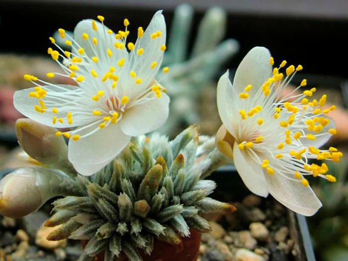 Авония с белыми цветками
