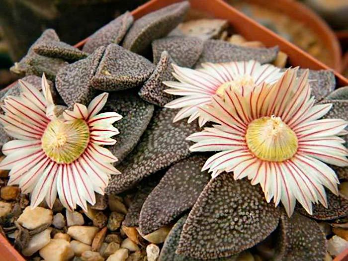 Aloinopsis-rubrolineata