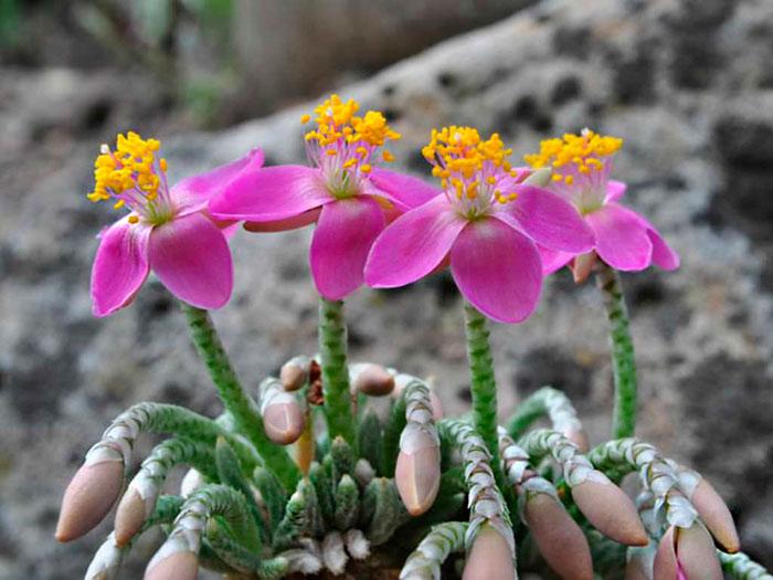 Авония цветение