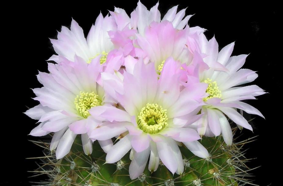 Acanthocalycium violaceum цветение
