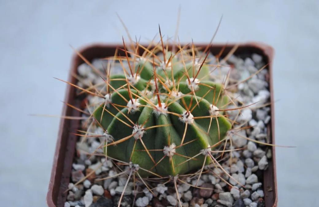 Acanthocalycium violaceum