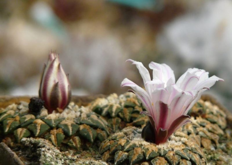 Ariocarpus kotschoubeyanus v. albiflorus цветение