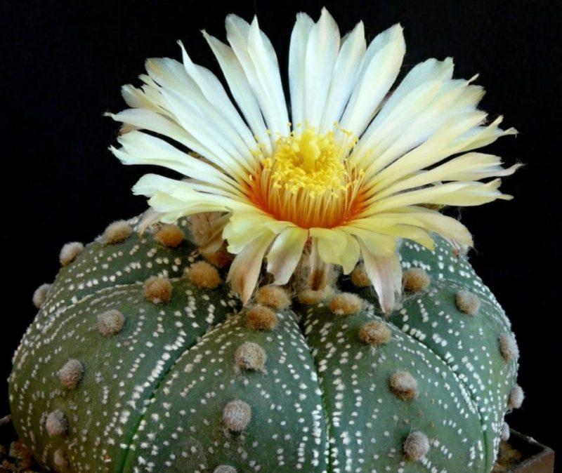 Astrophytum asterias цветение