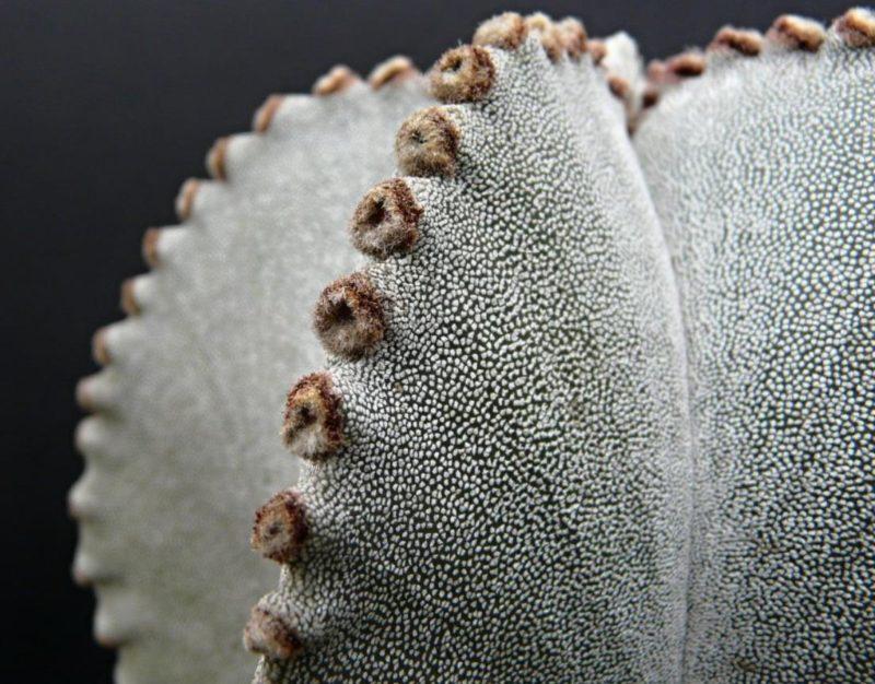Astrophytum myriostigma v. jaumavense 2