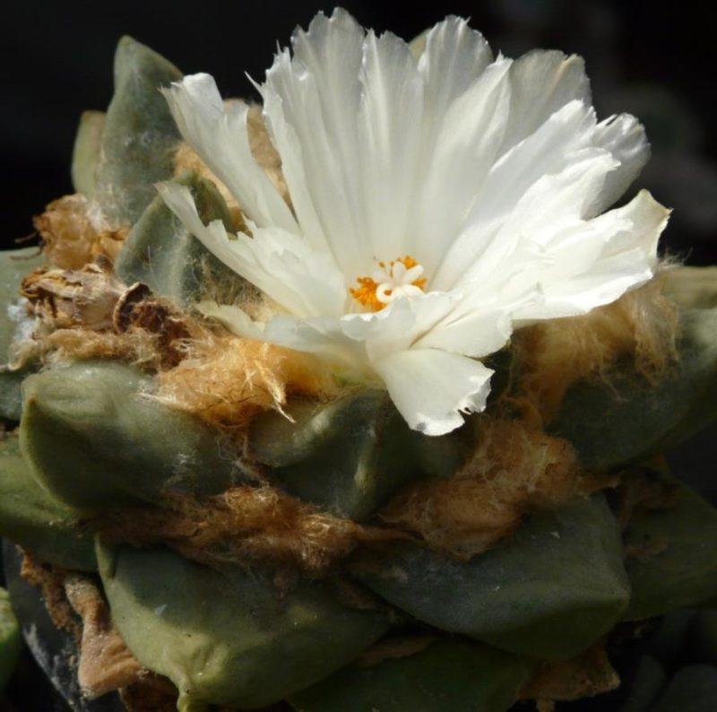 Astrophytum retusus цветение