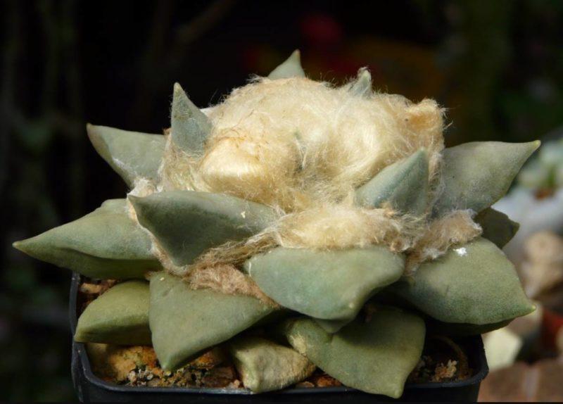 Astrophytum retusus