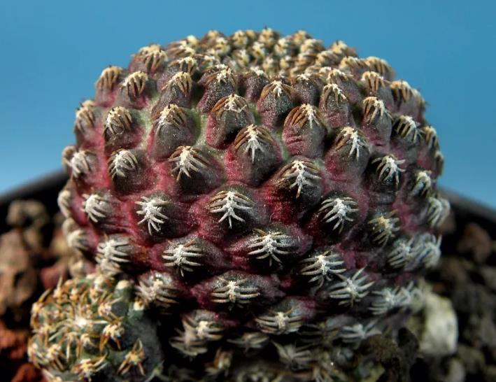 Rebutia heliosa var. melanistic