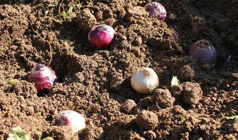 высадить гиацинт в землю